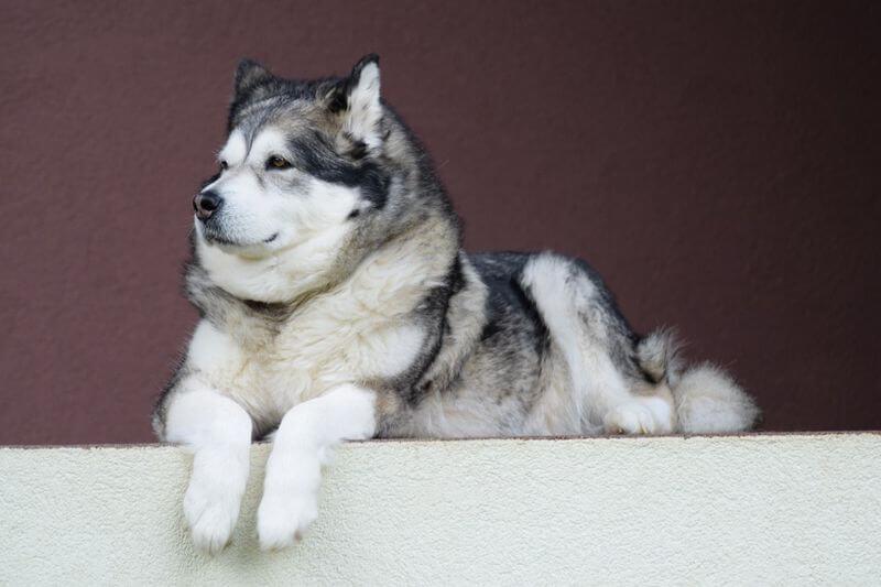 אילוף הכלב אלסקן מלאמוט