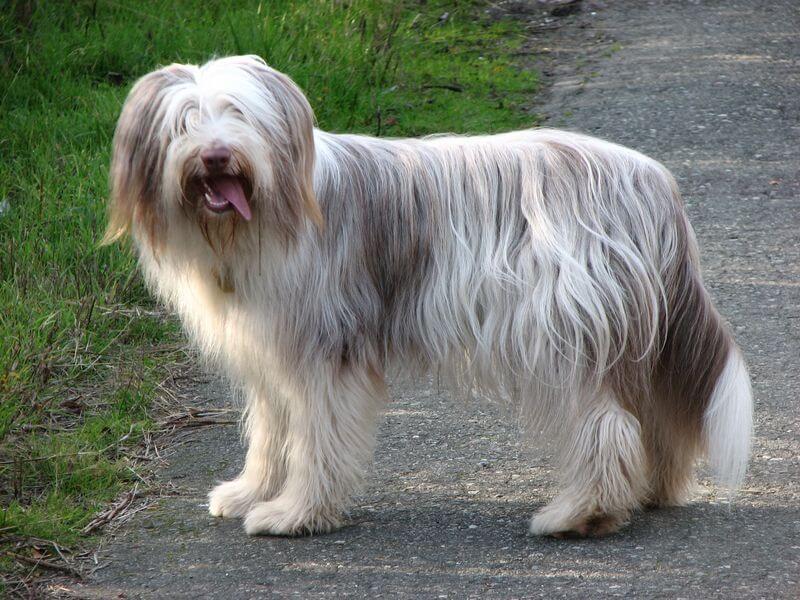 אילוף הכלב בירדד קולי