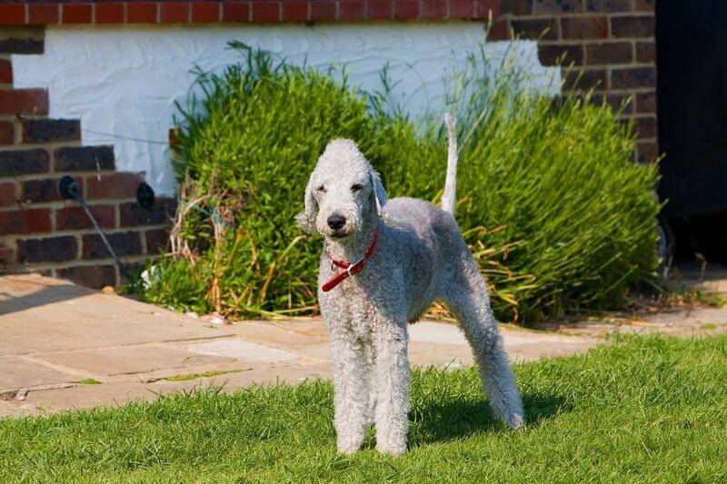 אילוף הכלב בדלינגטון טרייר