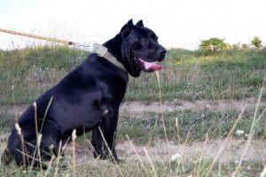אילוף הכלב קאנה קורסו