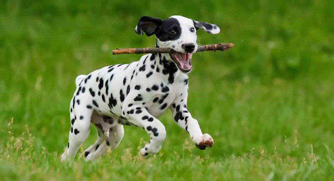 אילוף הכלב דלמטי
