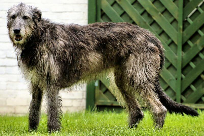 אילוף הכלב וולפהונד
