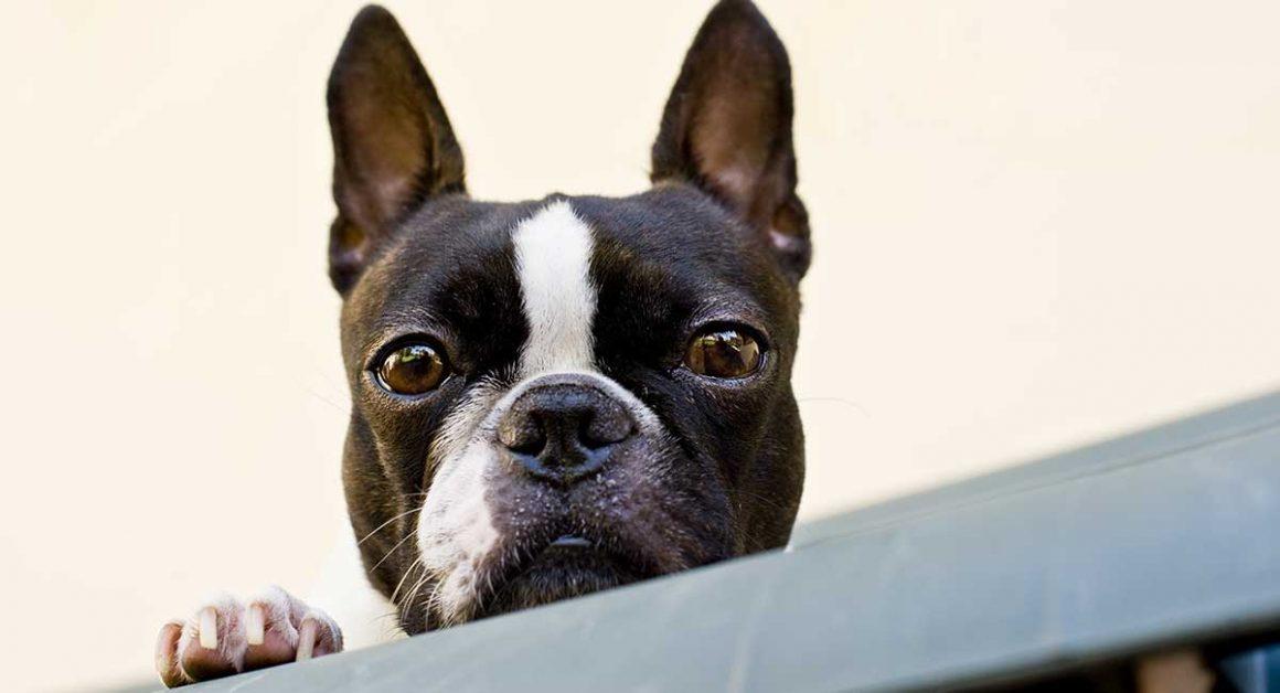 אילוף הכלב בוסטון טרייר