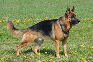 אילוף הכלב רועה גרמני