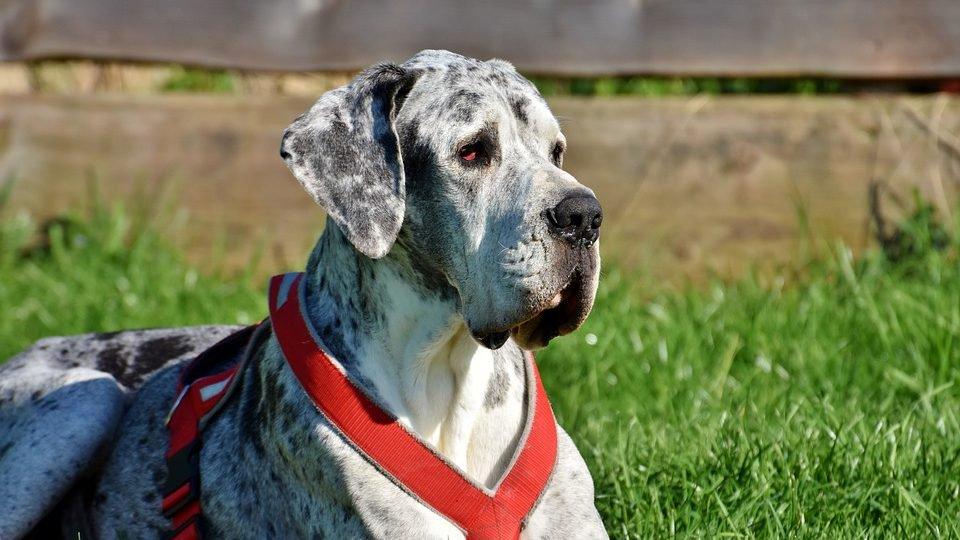 אילוף הכלב דני ענק