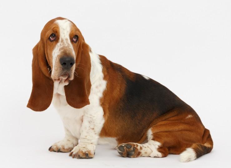 אילוף הכלב באסט האונד