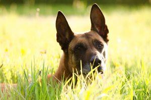 אילוף הכלב רועה בלגי
