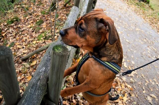 איך לאלף את הכלב לא למשוך ברצועה